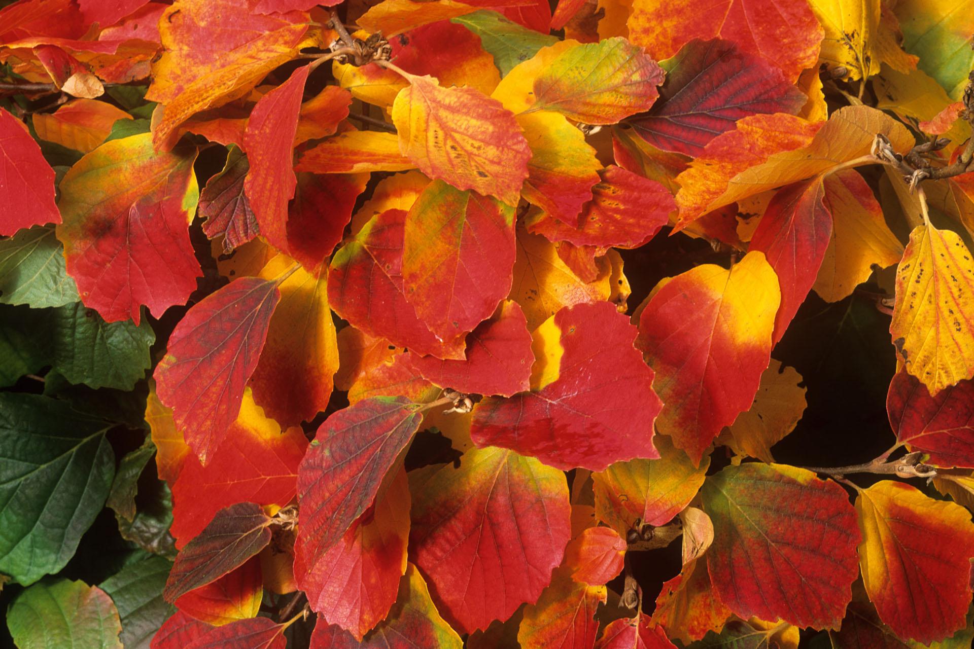 Autumn foliage of Fothergilla major Monticola Group.