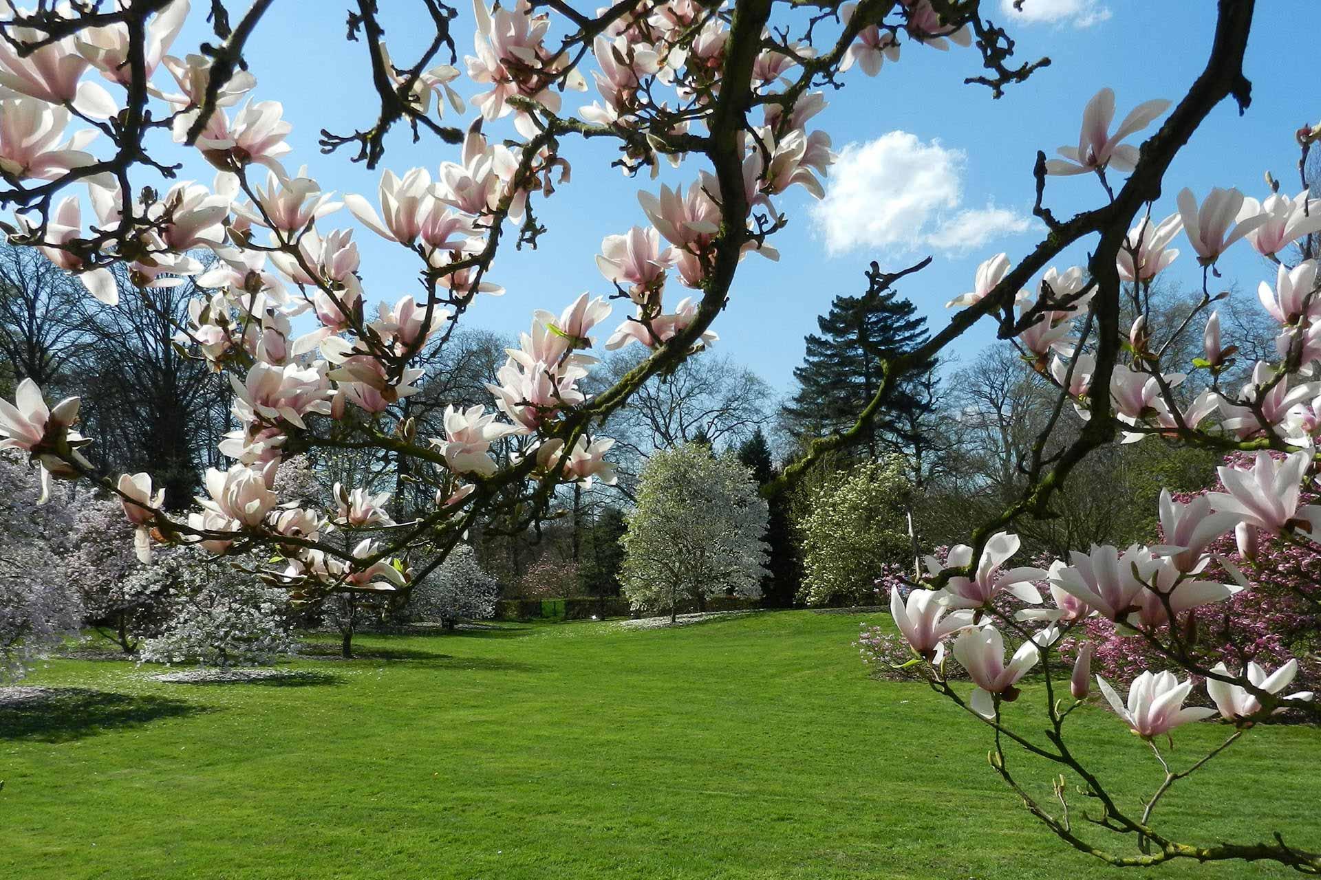 Magnolia hage